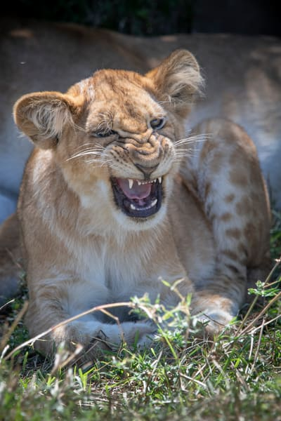 Lion Cub Roar - fine art photography - JP Sullivan