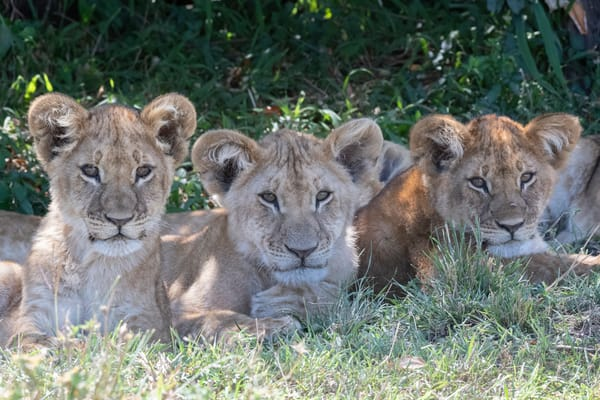Lion Cub Trio - fine art photography - by JP Sullivan