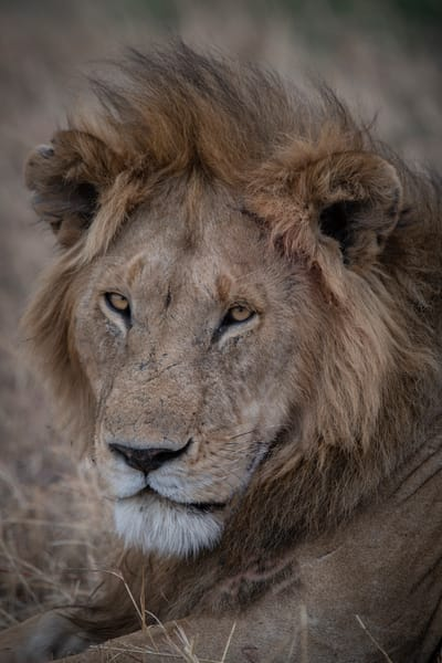 African Lion - Fine art photography - by JP Sullivan - Africa