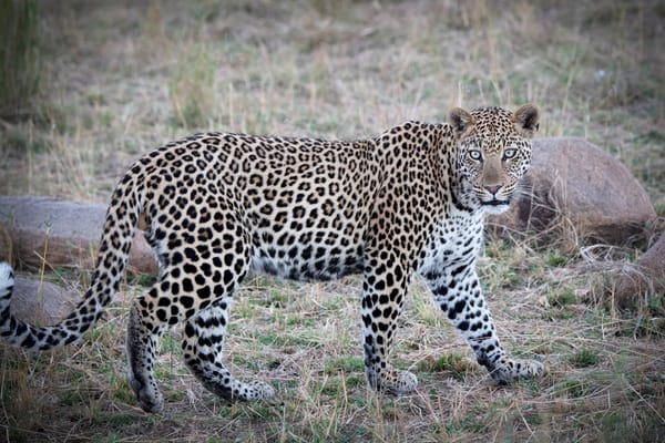Leopard Stare - Africa - Art print photography - JP Sullivan Photography, Inc.
