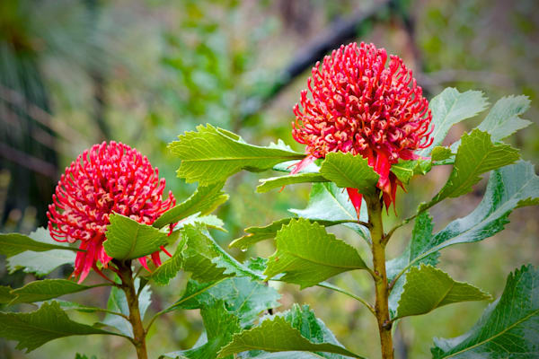 Waratah Pair - Patonga Brisbane Water National Park NSW Australia | Wildflowers