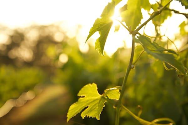 Vine Light - Pokolbin Hunter Valley Wine Country NSW Australia
