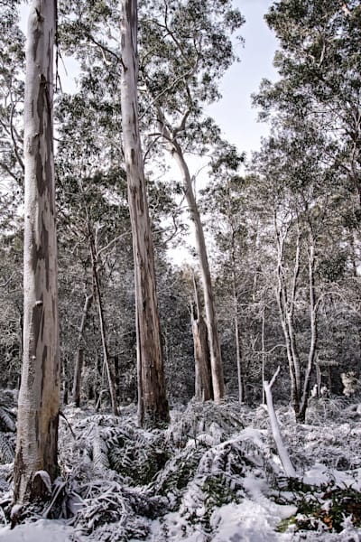 The Dusted Bush - Barrington Tops National Park NSW Australia | Snow