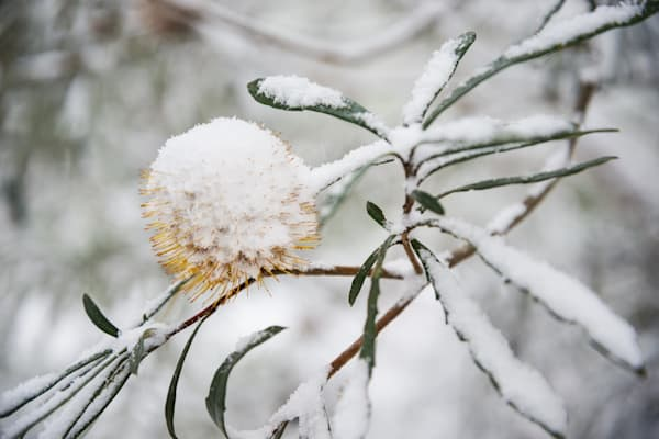 Snow Cone - Barrington National Park NSW Australia