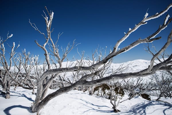 Frozen Limbs - Perisher Kosciuszko National Park NSW Australia | Snow