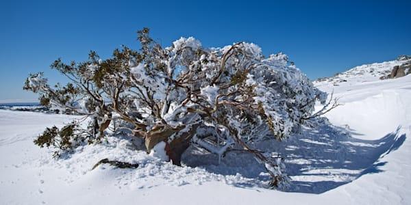 Frosted Snow Gum - Perisher Kosciuszko National Park NSW Australia | Snow