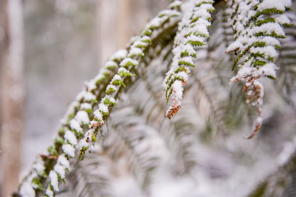 Frosted Fronds - Barrington Tops National Park Gloucester NSW Australia | Snow