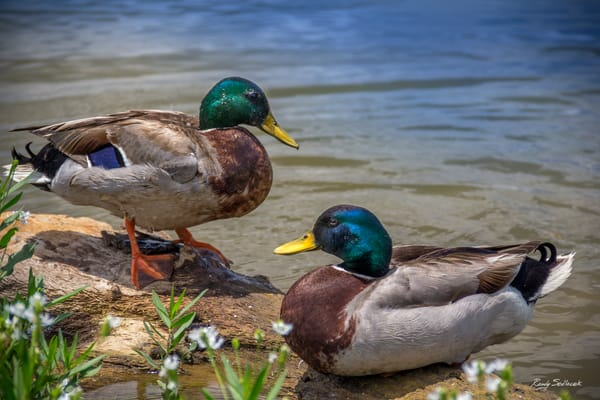 Dabbling Mallards | Randy Sedlacek Photography