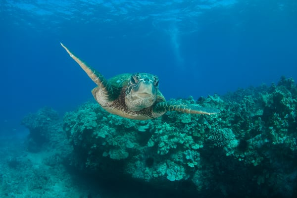 Honu Reef