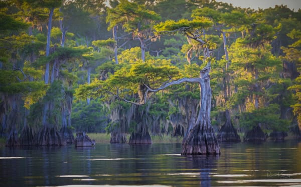 Dance of the Cypress Fine Art Photograph