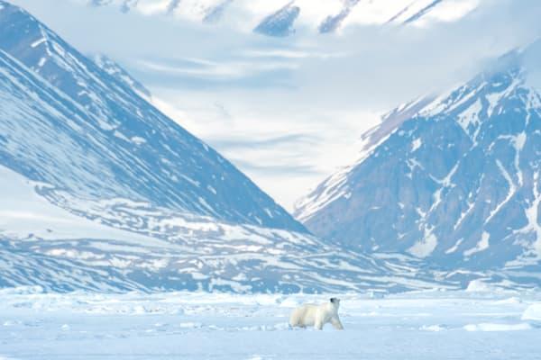 Baffin Bear