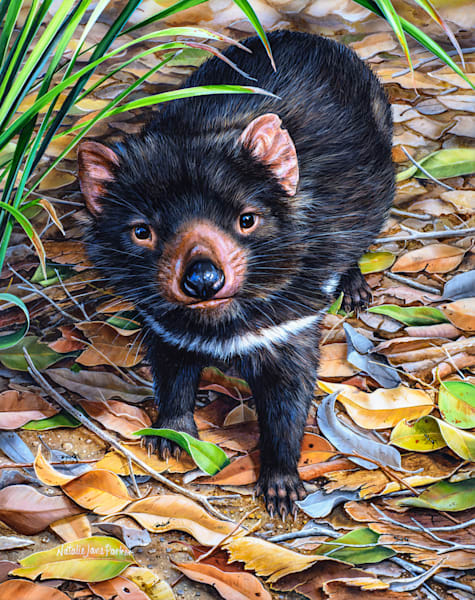 Hopeful Eyes - Tasmanian Devil Natalie | Jane Parker | Australian Native Wildlife