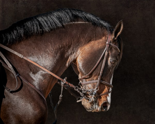 Bridle Portrait of Clintord II, color