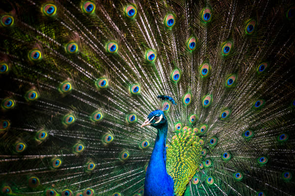 The Eyes Of A Peacock, Color Photography Art | Carol Brooks Parker Fine Art Photography