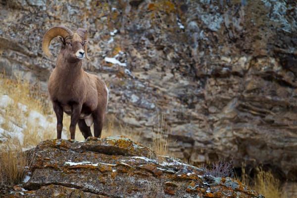 Ram in Jackson Hole, Wyoming
