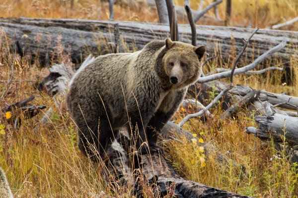 Grizzly of Yellowstone National Park