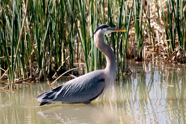 Blue Heron, Brigham City, Utah, Wild Bird Refuge
