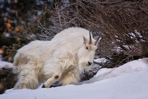 Snow Goat