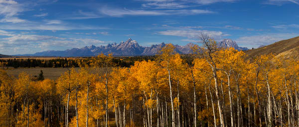 Beautiful Aspens, Grand Tetons