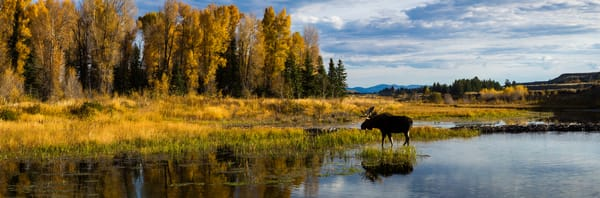 Wading Moose, Schwabacher's Pond, Grand Teton National Park