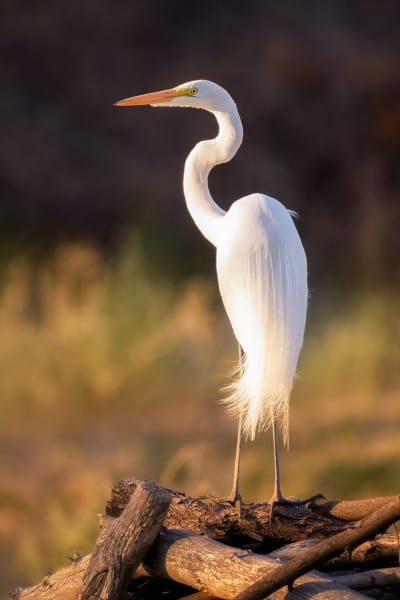 Great Egret in the Arizona Desert
