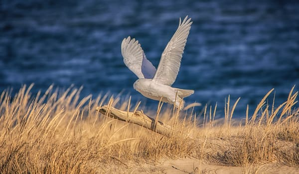 Wasque Snowy Owl Photography Art | Michael Blanchard Inspirational Photography - Crossroads Gallery