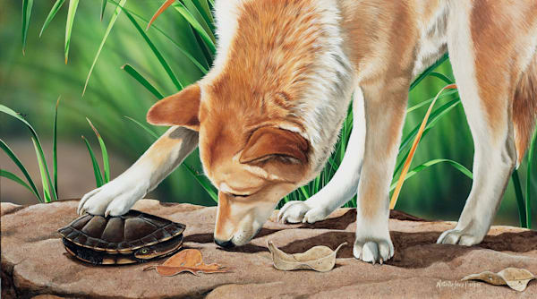Curiosity - Dingo with an eastern long-necked turtle Natalie Jane Parker Australian Native Wildlife