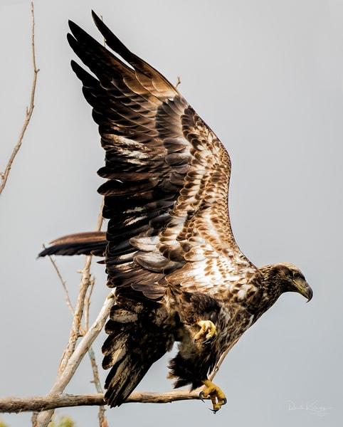 Takeoff - Juvenile Bald Eagle Photograph