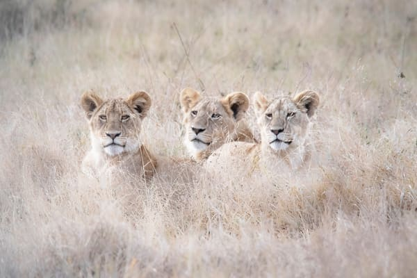Lions of the Serengeti - Photography Art Prints - Africa by JP Sullivan