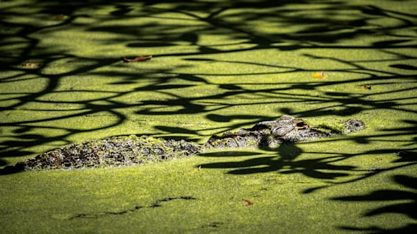 Swamp Gator Photography Art | Black Label Gallery