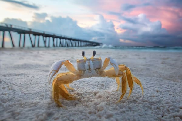 Ghost Crab |  | Navarre Beach Fishing Pier, Florida  | Fine Art Landscape Photography on Canvas, Paper, Metal | Photography by Jeff Waldorff