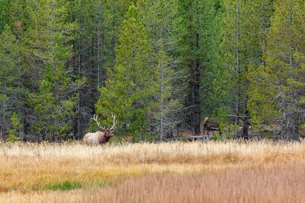 Large Bull Elk : Yellowstone, Wyoming - By Curt Peters