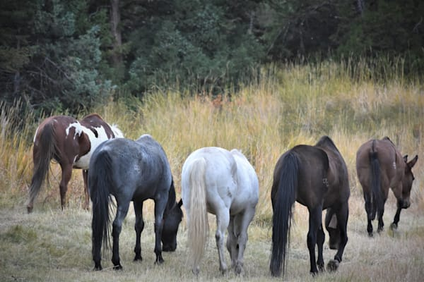 Photograph of grazing horses for sale as Fine Art