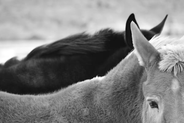 Black and White detail photograph of two mules for sale as Fine Art