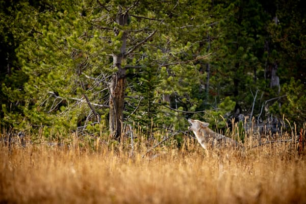 coyote, howling, yellowstone