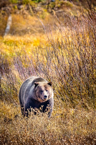 Lone Grizzly : Grand Tetons, Wyoming - By Curt Peters