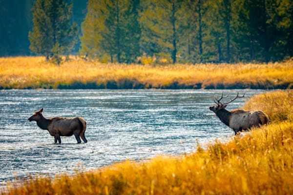 Bull Elk and Mate - Yellowstone, Wyoming - Curt Peters