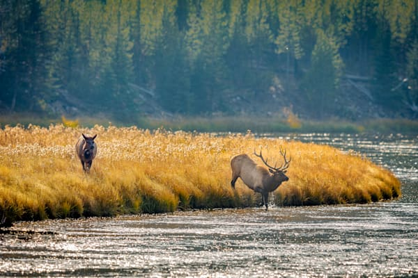 Bull Elk and Madison River : Yellowstone, Wyoming - By Curt Peters