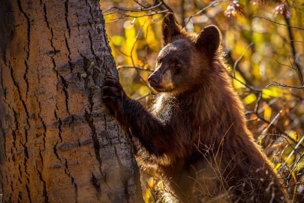 Bear Cub and Tree : Grand Tetons, Wyoming - By Curt Peters