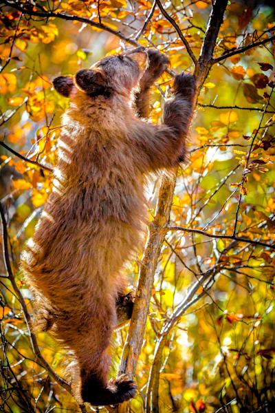 Black Bear Cub picking berries : Grand Tetons, Wyoming - By Curt Peters