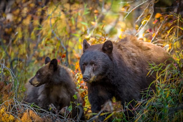 Black Bear with Cub: Fine Art Photography - by Curt Peters
