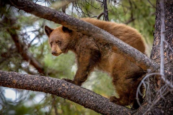 Black Bear Cub : Grand Tetons, Wyoming - By Curt Peters