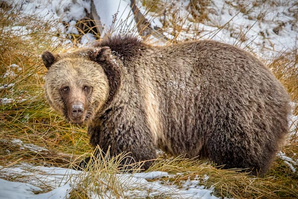 Big Fat Grizzly : Yellowstone, Wyoming - By Curt Peters