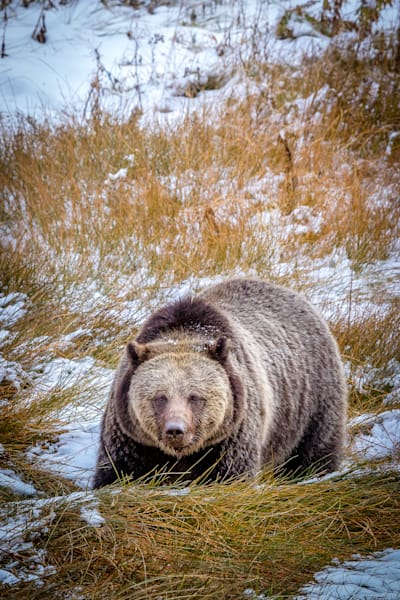 Grizzly portrait : Yellowstone, Wyoming - By Curt Peters