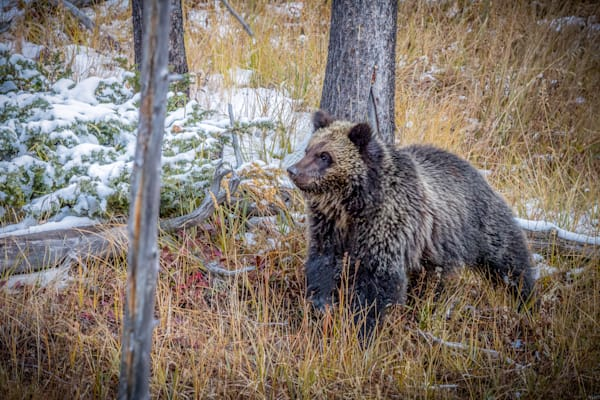 Cautious Grizzly Cub : Yellowstone, Wyoming - By Curt Peters