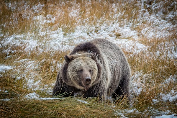 Huge Grizzly : Yellowstone, Wyoming - By Curt Peters