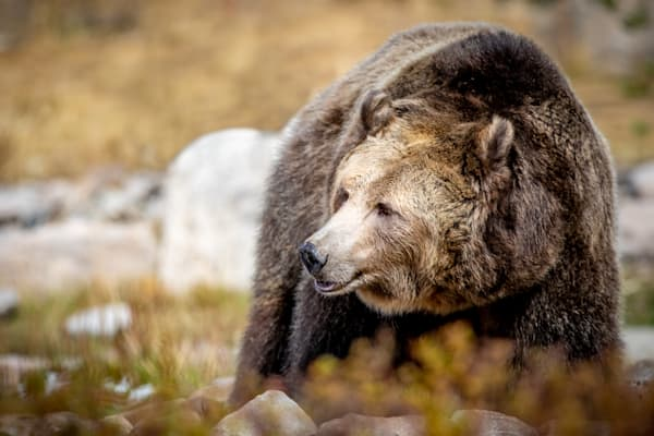 Old Grizzly : Grizzly, Wolf Discovery Center, West Yellowstone, Montana - By Curt Peters