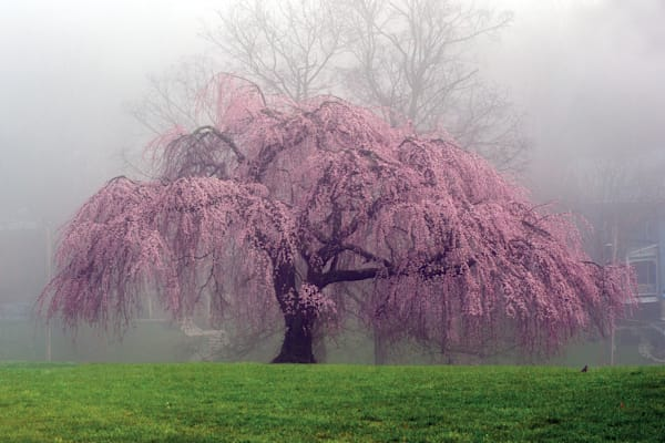 Weeping Cherry, Eden Park
