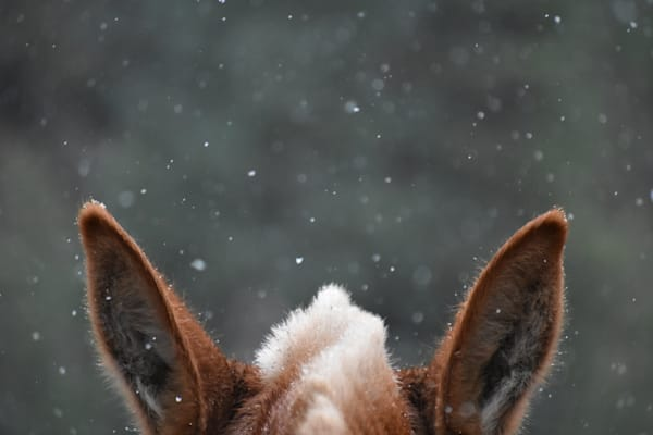 Snow-day Photograph of a mule's ears for sale as Fine Art