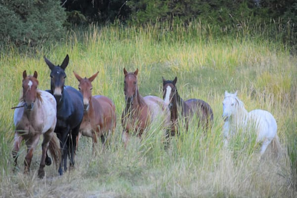 Photograph of a herd of horses in tall grass for sale as Fine Art